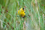 American goldfinch, Gulf Islands, British Columbia, Canada