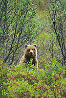 Grizzly bear in willows, Denali National Park, Alaska