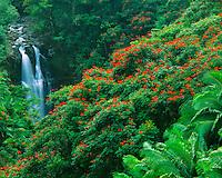 Falls & Tulip Trees, Hamakua Coast, Big Island of Hawaii