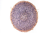 Onion (Allium) root tip cross-section. LM