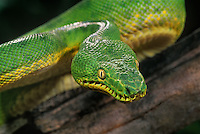 412304004 a captive zoo animal emerald tree boa corallus canina rests in a coiled position showing the heat sensing pits located along the jaw line  species is native to south america
