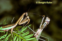 1M33-022z  Praying Mantis female and male preparing to fight - Tenodera aridifolia sinenesis            © Dwight Kuhn