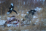 Black-billed magpies and a coyote at an elk kill, Yellowstone National Park, Wyoming, USA