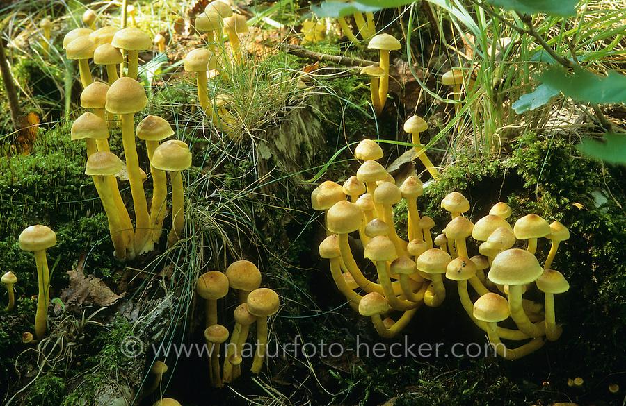Grünblättriger Schwefelkopf, Grünblättriger-Schwefelkopf, Hypholoma fasciculare, Nematoloma fasciculare, sulphur tuft, sulfur tuft, clustered woodlover