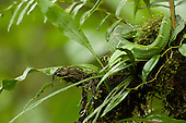 Side-striped Palm Pit Viper (Bothriechis lateralis), Costa Rica.