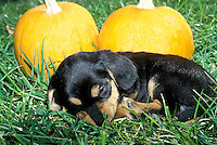 Puppy sleeping in grass beside two pumpkins