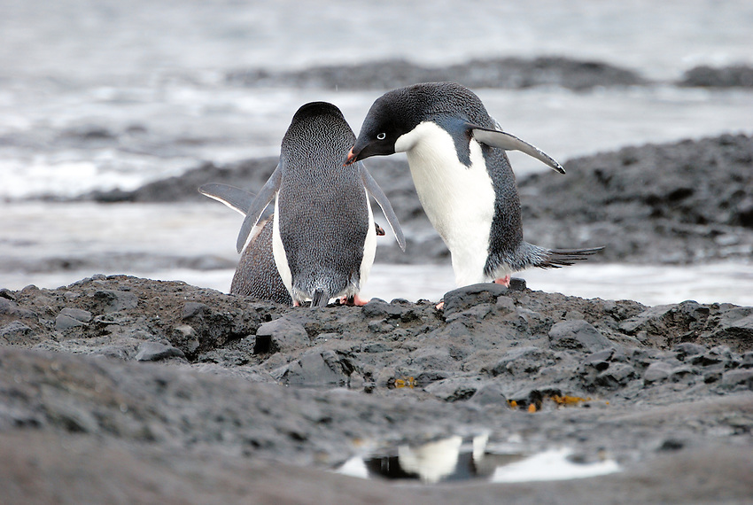 Adelie penguins heading for the sea
