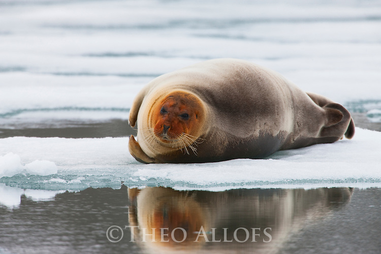 Norway, Svalbard, young bearded seal (Erignathus barbatus) lying on ice floe