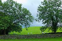 Sheep in lakeland scene near Grasmere in the Lake District National Park, Cumbria, UK
