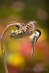 CHICKADEES, TITMICE, NUTHATCHES