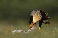 Crested Caracara, Caracara plancus, adult eating rabbit, Starr County, Rio Grande Valley, Texas, USA