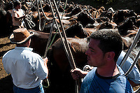 Villagers catch wild horses in the arena during the Rapa das Bestas (Shearing of the Beasts) festival in Torroña, Spain, 5 June 2011. The herds of of wild horses roam freely the hills of Galicia in the north-western Spain. Each year, in the beginning of summer, villagers herd horses down from the higher ground, rounding them up in the curro, a centuries-old stone arena. Here, ranchers catch the animals one by one and shear their manes and tails. Some of the young men, showing up their strength and courage, fight the untamed horses just with their bare hands. At the end of Rapa das Bestas, a 400-year-old Spanish tradition, the newborn foals are branded and all horses are released back into the wilderness.