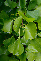 Ginkgo leaves, Kamikatsu, Katsuura, Tokushima Prefecture, Japan, July 7, 2014. The Irodori Project is based in the mountain town of Kamikatsu, Tokushima Prefecture. Farmers - many of them elderly - grow leaves and flowers to use to decorate Japanese food in restaurants and hotels across the nation.