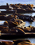 A large group of sea lions take in the sun along the docks of the California coast.
