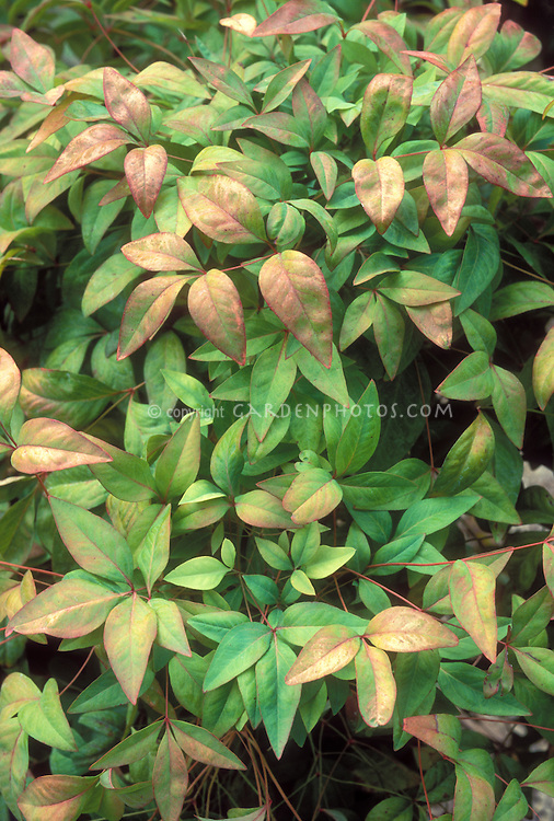 Nandina domestica heavenly bamboo plant flower stock for Landscape bush identification