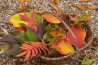 Buntes Herbstlaub in einem Korb, Blätter, Laub