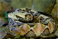 489250011 a captive gaboon viper bitis gabonica sits coiled in leaf litter species is a ground dwelling deadly viper it is the heaviest and has the longest fangs of any viperid and is native to western sub-saharan africa