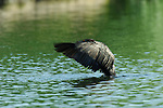 Breeding Cormorant Display Double-crested Cormorant Sepulveda Wildlife Refuge LA