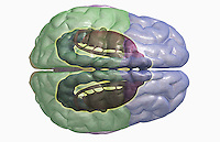 A superior view of the limbic system relative to the brain. Royalty Free