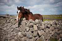 A horse looks over a stone wall, Inis Mór, Aaran Islands, County Galway, Ireland..The island of Inis Mór ( meaning the big island) is one of the most popular tourist destinations in Ireland. The islands inland landscape of uniquely blanketed rock surface are glazed with man made rock walls that meander and cross all directions as far as one can see. Well known internationally, it is steeped in history and resembles an outdoor museum with over 50 different monuments of Christian, pre Christian and Celtic mythological heritage. Picture James Horan