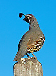 Birds - Quail on a post, Wild Birds of Newport Beach, California. Photo by Alan Mahood.
