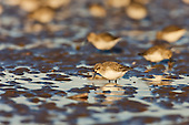 Sanderling (Calidris alba) foraging in golden sunlight on a low spring tide. New feeding grounds are exposed, and the abundant food has already been visited by tens of thousands of Herring gulls , Black backed gulls, Oystercatchers and other birds. They have already gone through the mussel and other molluscs leaving rich leftovers for smaller birds like the Sanderling. A very 'high' spring tide had caused the tide to go out much further than previous recent records of spring tides in about 10 years. The Sanderling has no hind toe - giving it a distinctive running action, rather like a wind up toy, as it darts away from incoming waves on the waters edge.