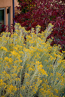 Yellow flowering silver gray leaf native shrub, Chamisa or Rabbitbrush (Chrysothamnus nauseosus) and ash tree, Fraxinus americana 'Autumn Purple' in Xeriscape garden, Santa Fe, New Mexico