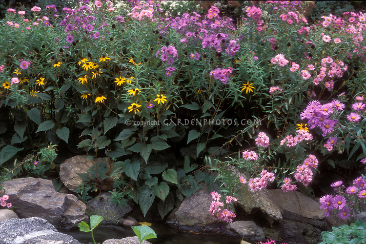 Asters and Rudbeckia in autumn, New England Asters, New York Asters, Black-Eyed Susans native American wildflowers that bloom in fall, heirloom plants
