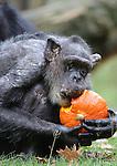 Foto: VidiPhoto<br /> <br /> ARNHEM - Het familiediner. Een bijzondere herfstverrassing voor de chimpansees in Burgers' Zoo in Arnhem dinsdag. Vanwege de herfstvakantie kregen de dieren een heus familiediner met -voor hen- exclusieve pompoenen. Omdat het bepaald geen dagelijkse kost is, lieten de mensapen zich de lekkernij extra goed smaken. Pompoenen zijn er alleen in de herfst en dienen dan als verrijking van de dagelijkse -uitgebalanceerde- maaltijden.