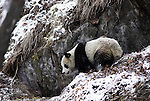 Giant Panda, Ailuropoda melanoleuca, standing in snowy landscape habitat, Wolong Research and Conservation Centre, Sichuan (Szechwan) Province Central China, can handle bamboo with great dexterity with extended sesamoid bone in wrist which acts like false thumb, reserve, breeding centre, captive, captivity, asia, asian, black, white, chinese, fur, furry, bears, pandas, patterns, omnivores, snow.China....