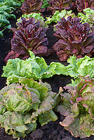Types of lettuces mixed growing in garden including red, green, butterhead, crisphead, romaine, looseleaf