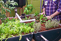 FoodShare's aquaponics system which grows fish and plants together. With the help of bacteria, fish waste is transformed into a great source of nutrients for the plants and the plants in return act as great water filters.