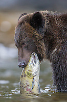 We were fortunate to spend time with several grizzly bears during the salmon spawn in British Columbia.