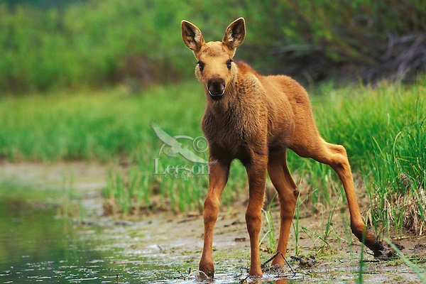 Cute moose calf - photo#17