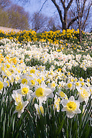 Spring Daffodils Narcissus naturalized in spring bloom in masses
