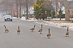 Merrick, New York, U.S. - February 26, 2014 - Canada Geese take walk looking for food, on Long Island suburban yards and street as snow begins to fall again.