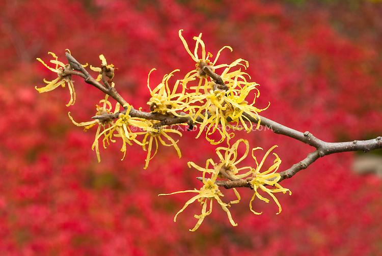 Hamamelis virginiana Common Witchhazel in fall