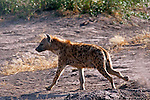Africa, Kenya, Amboseli. Trotting spottd hyena.