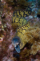 Marbled moray, Muraena helena, Princess Alice, Azores, Portugal