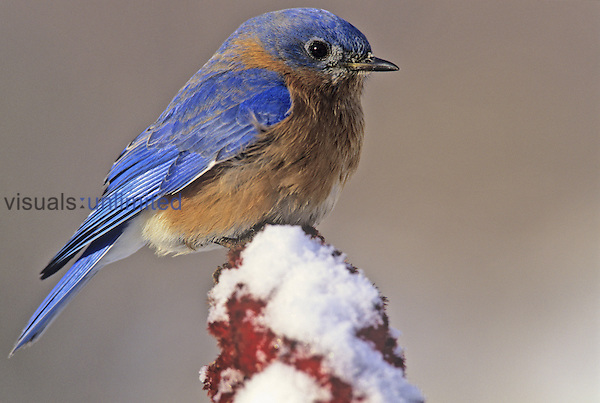 Male Eastern Bluebird (Sialia sialis) on snowy Staghorn Sumac with its feathers fluffed for protection against the cold, Eastern North America. Missouri State Bird.