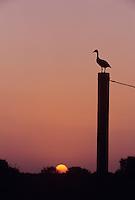 Black-bellied Whistling-Duck, Dendrocygna autumnalis,adult at sunset on gate post, Welder Wildlife Refuge, Sinton, Texas, USA, June 2005