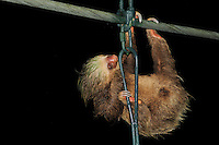 Three-Toed Sloth (Bradypus variegatus) using a bridge wire to cross a river, La Selva Biological Station, Costa Rica