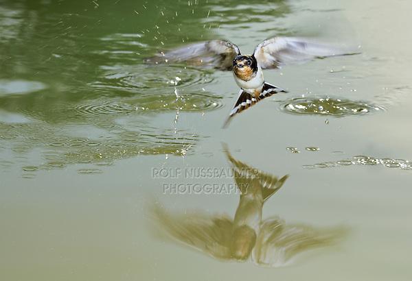 Barn Swallow (Hirundo rustica), adult bathing in pond, Dinero, Lake Corpus Christi, South Texas, USA