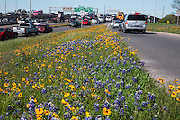 Commuters stuck in downtown traffic drive pass a sea of color with the bluebonnets and spring wildflowers along I-35 in downtown Austin, Texas.