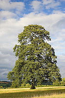 Oak tree in meadow at Chastleton in the Cotswolds, England, United Kingdom.
