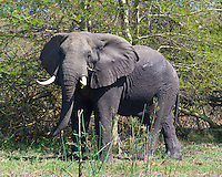 African Elephant, Shire River, Liwonde NP, Malawi