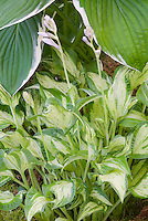 Hosta 'Allegan Fog' (variegated ) with white streaked center, perennial shade garden foliage plant in flower buds