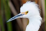 Egret Profile 2, Upper Newport Bay, CA