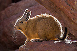 Altiplano, Bolivia , Eduardo Abaroa Andean Fauna National Reserve, mountain viscacha