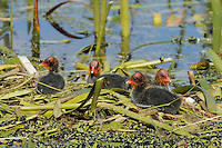 Eurasian Coot chicks on the nest (Fulica atra), Victoria, Australia